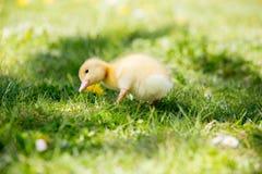 3 маленьких утят в гнезде, outdoors отображают в парке Стоковая Фотография