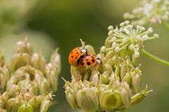 2 маленьких ladybugs на заводе Стоковая Фотография