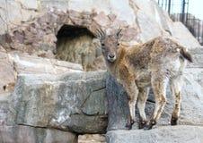 Маленькое восточное кавказское tur на утесе Копытные животные мира Стоковое Фото