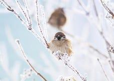 Маленькое усаживание воробья птицы hunched в парке зимы на branc Стоковые Фотографии RF