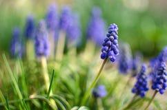 Малое голубое muskari цветеня цветков весной стоковое фото rf
