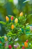 малое горячего peper красное Стоковые Изображения