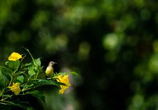 Малое желтое sunbird стоковые фото