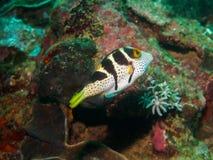 Малое заплывание blowfish под водой, Филиппинами стоковые фотографии rf