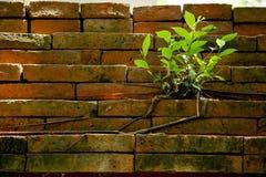 Малое зеленое дерево введенное на старую кирпичную стену стоковое фото