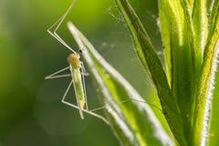 Малое зеленое насекомое мухы сидя на траве, фото макроса Стоковое Изображение