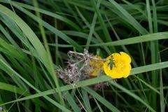 Малое зеленое насекомое на желтом лютике Стоковое фото RF