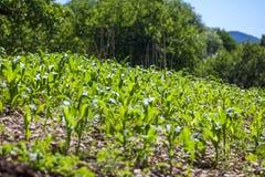 Малое земледелие кукурузного поля green nature Сельское сельскохозяйственное угодье в s стоковые фотографии rf