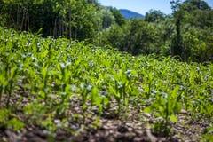 Малое земледелие кукурузного поля green nature Сельское сельскохозяйственное угодье в s стоковые изображения