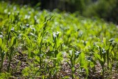 Малое земледелие кукурузного поля green nature Сельское сельскохозяйственное угодье в s стоковое изображение
