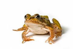 малое лягушки зеленое Стоковые Изображения RF