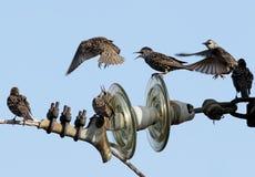 Малое стадо общих starlings на взгляде электрического провода необыкновенном Стоковое Фото