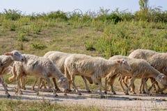 Малое стадо овец пасет на широком пути стоковые изображения
