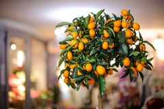 Малое lushy дерево лимона с желтыми лимонами в баке Стоковые Фотографии RF