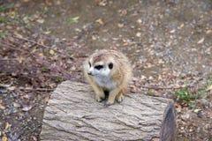 Малое Meerkat сидя и смотря na górze журнала Стоковые Фото