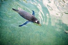 Малое swimmimng пингвина Стоковые Фото
