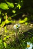 Малые белые perennis Bellis цветка поля в траве стоковое фото rf