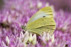 Малые белые rapae Pieris бабочки на Sedum стоковое изображение rf
