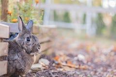 Малые взгляды украдкой кролика из коробок сада осенью Стоковые Изображения