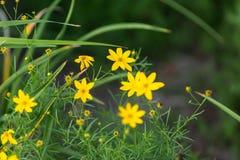 Малые желтые цветки зацветая в саде Стоковые Фотографии RF
