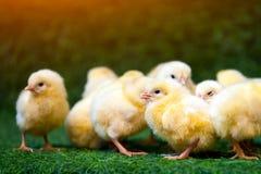 Малые желтые цыпленоки стоковая фотография