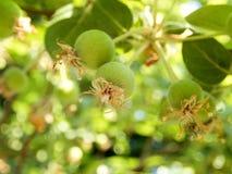 Малые зеленые яблоки с остатками цветка яблока прикрепленного в последней весне Стоковая Фотография RF