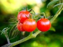 Малые красные томаты вишни в саде Стоковое Фото