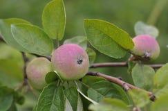 Малые красные яблоки на ветви Стоковое Изображение RF