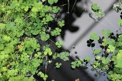 Малые листья молодого клевера Стоковое Изображение RF