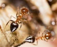 Малые муравьи в природе Макрос Стоковые Изображения RF