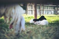 Малые овцы спать и есть травы в поле и овце обрабатывают землю стоковое изображение
