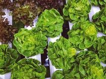 Малые органические заводы для здорового салата Стоковые Фото