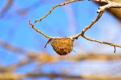 Малые птицы гнездятся на сухой ветви дерева на заповеднике Sagareshwar, Sangli, махарастре стоковая фотография rf
