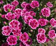 Малые розовые цветения и бутоны стоковые фото