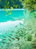 Малые рыбы в озере Plitvice, Хорватии Стоковая Фотография RF