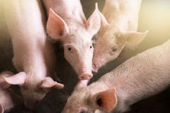 Малые свиньи на ферме, свиньи в стойле Стоковое Изображение RF