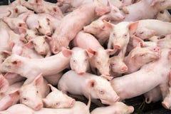 Малые свиньи на ферме Стоковые Фото