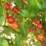 малые томаты Стоковые Изображения RF