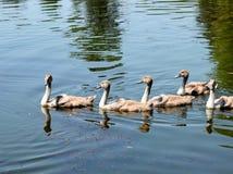 Малые утки плавая в озере стоковое фото rf