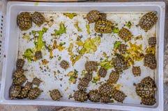 Малые черепахи в Hammamet Тунисе стоковая фотография rf