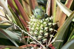 Малый ананас на дереве стоковые фотографии rf