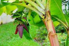 Малый банан Стоковое Изображение RF