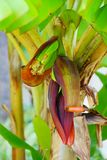 Малый банан Стоковые Фотографии RF