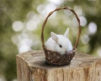 Малый белый зайчик в корзине на пне дерева Стоковая Фотография
