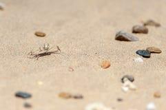 Малый белый краб на пляже песка, Омане, арабском море стоковое изображение rf