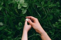 Малый белый цветок клубники нежно касается рукам стоковые изображения