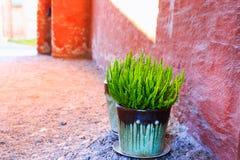 Малый вереск вереска зеленого растения vulgaris в керамическом цветочном горшке около стены красного grunge каменной на улице гор стоковое фото rf
