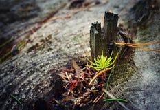 Малый елевый расти на старом пне дерева стоковое фото