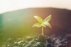 Малый завод саженцев конопли на этапе тонизировать вегетации светлый стоковые изображения