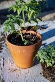 Малый завод томата в предпосылке горной цепи пустыни Мохаве натюрморта бака Стоковая Фотография